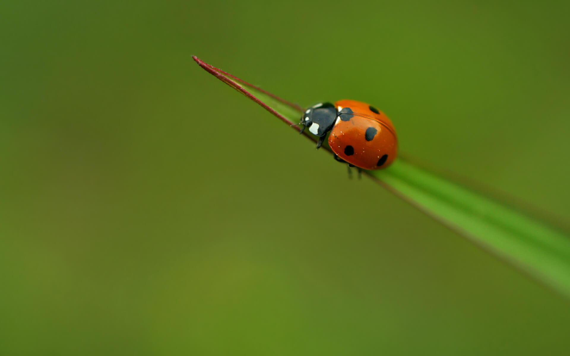 Ladybug-maya.bg