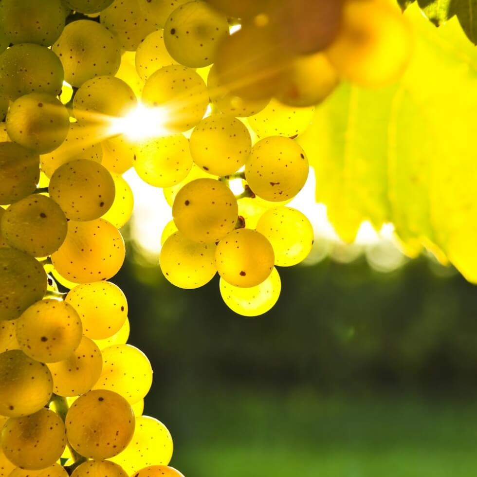 grape-tree-photos-wallpaper