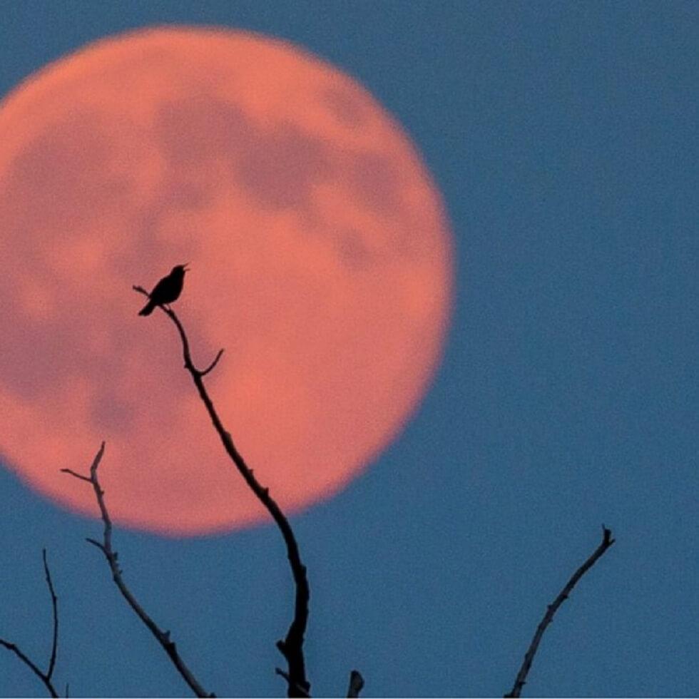 strawberry_moon