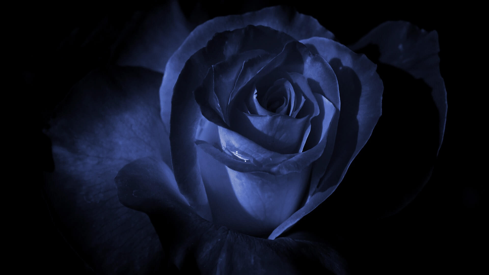 blue_rose_in_the_dark