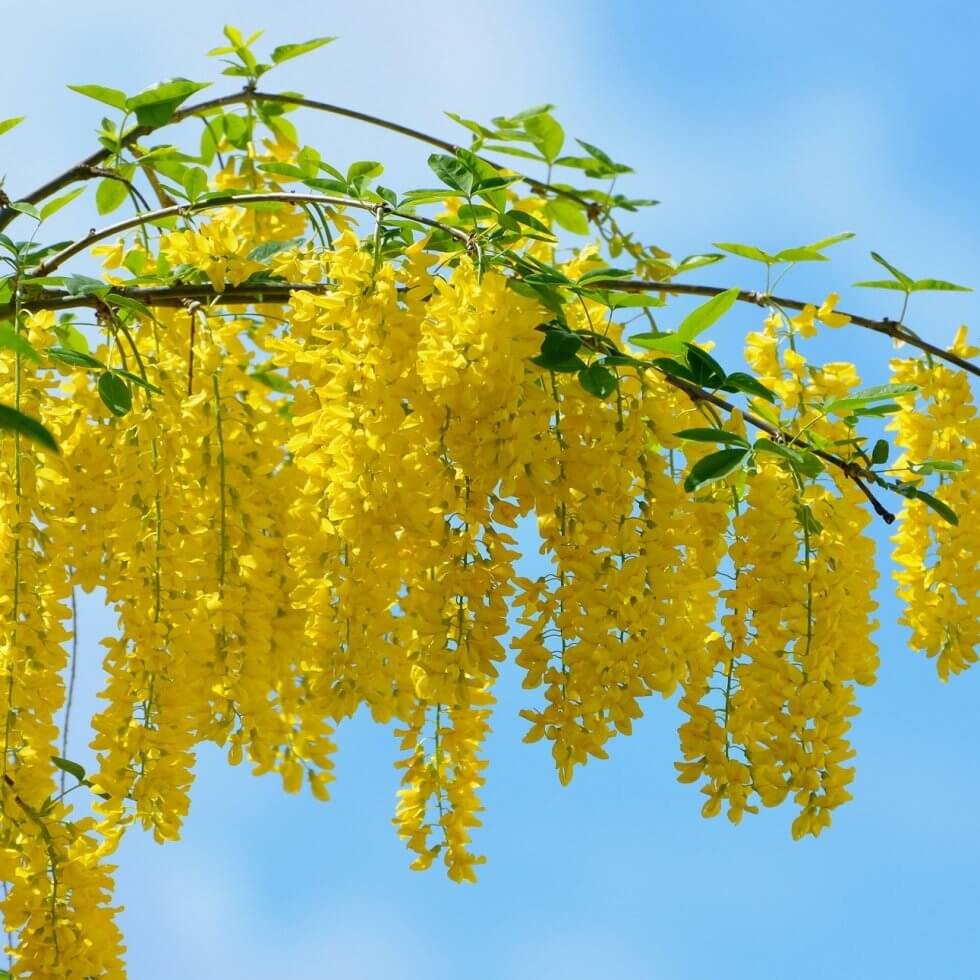 acacia_yellow_flowers-wallpaper-2000x1333